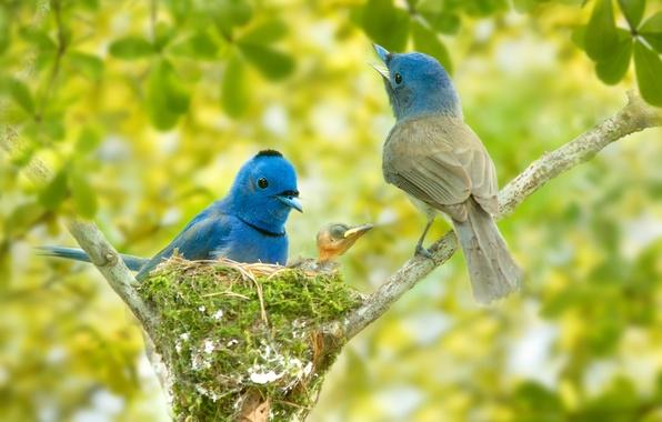 Picture birds, branches, socket, chick, bokeh, Blue monarch, Black-naped monarch