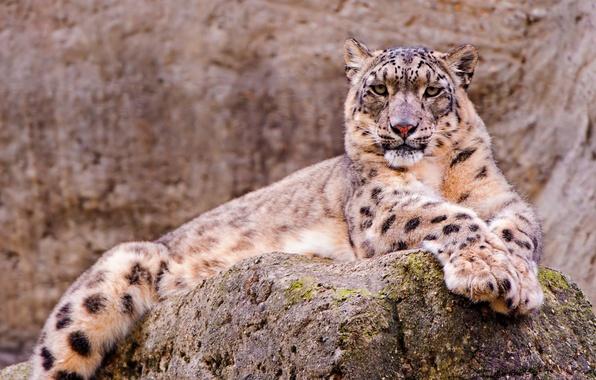 Picture look, Wallpaper, stone, beautiful, lies, IRBIS, snow leopard