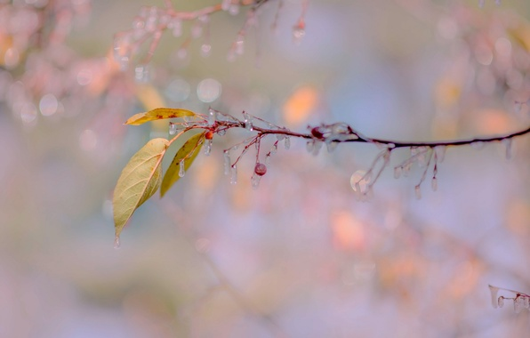 Picture autumn, leaves, icicles, fruit, freezing, century