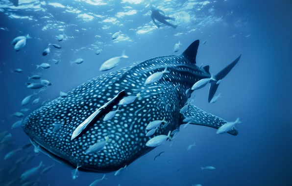 Picture kit, Fish, sea, ocean, blue, whale