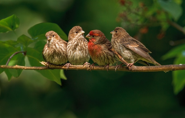 Picture birds, branch, family, finches