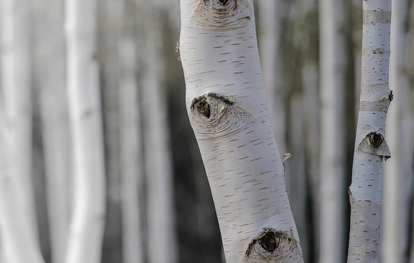 Picture trees, nature, birch
