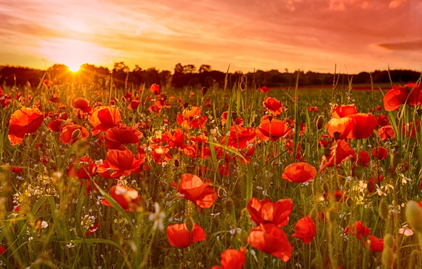 Picture field, the sky, the sun, sunset, flowers, Maki, meadow