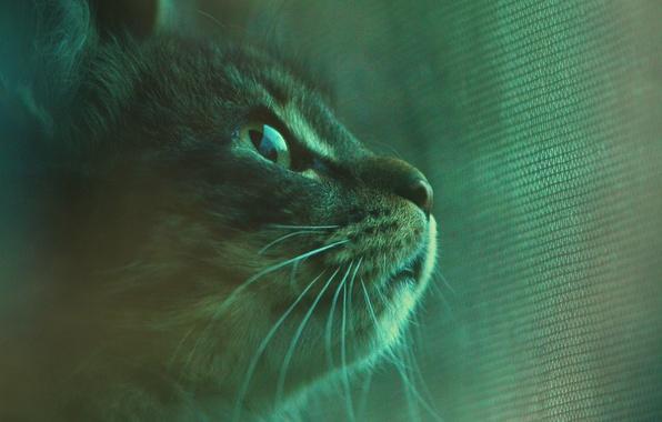 Picture cat, mustache, look, Koshak, Tomcat