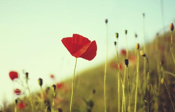 Picture field, flower, summer, grass, macro, red, stems, Mac, plants