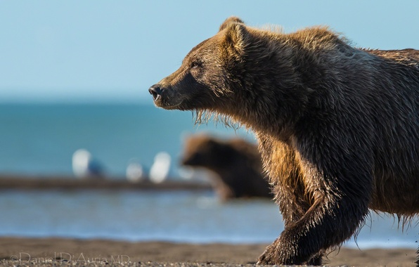 Picture river, bear, the Bruins