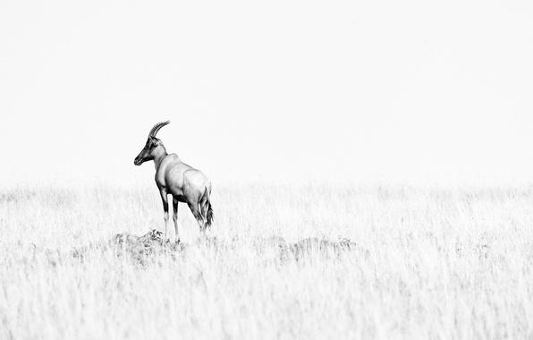 Picture space, Savannah, antelope