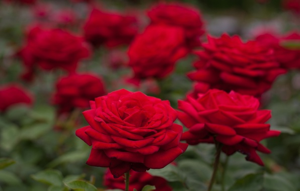 Picture roses, bokeh, red roses
