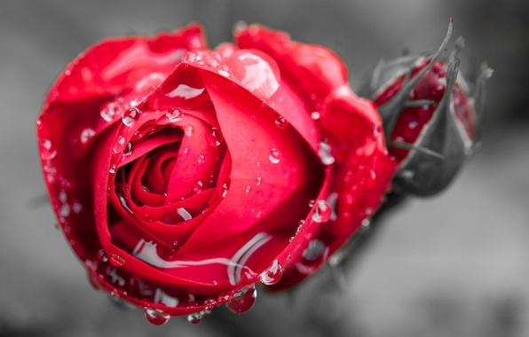 Picture flower, water, drops, macro, flowers, Rosa, background, widescreen, Wallpaper, rose, Bud, wallpaper, red rose, flower, ...