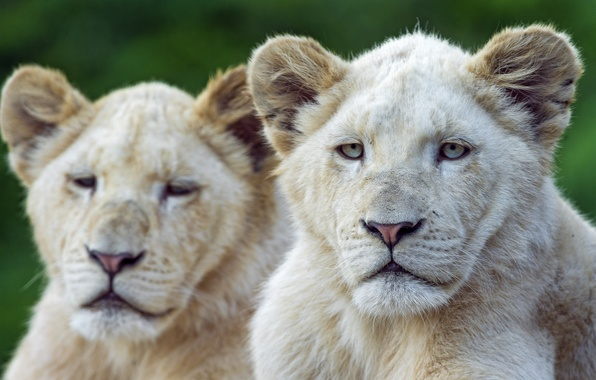 Picture face, cats, the cubs, white lion, ©Tambako The Jaguar