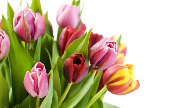 Picture greens, flower, leaves, flowers, yellow, red, pink, plant, tulips, white background, colorful