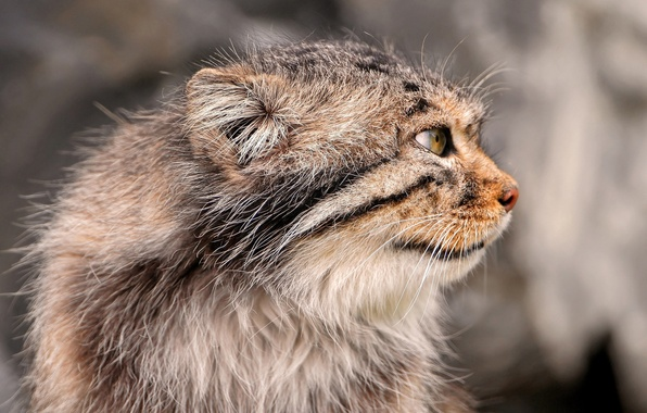 Picture cat, cat, mustache, face, paws, tail, Manul, manul