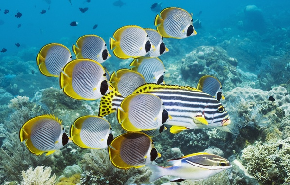 Picture fish, the ocean, corals