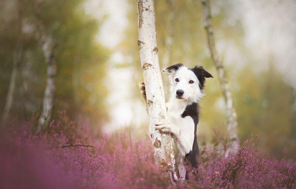 Picture tree, dog, birch, The border collie