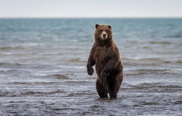Picture bear, Alaska, Alaska, stand, grizzly, Lake Clark National Park, lake Clark