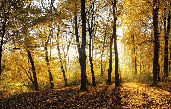 Picture autumn, forest, leaves, light, trees