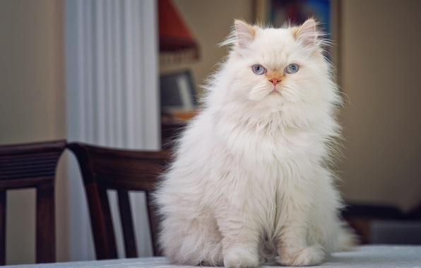 Picture look, portrait, on the table, fluffy, Persian cat