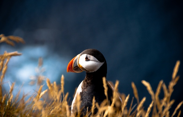 Picture bird, blur, Atlantic puffin, Fratercula arctica, Puffin
