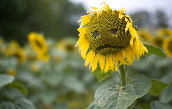 Picture sadness, field, summer, nature, sunflower