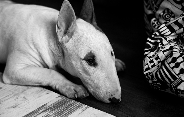 Picture dog, animal, black and white, floor, creature, lying, b/w, beast, Bull Terrier