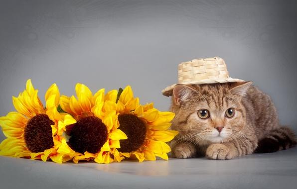 Picture cat, sunflowers, hat