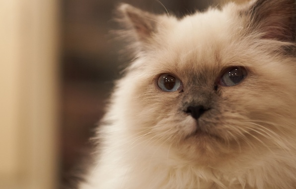 Picture cat, cat, face, fur, Kote