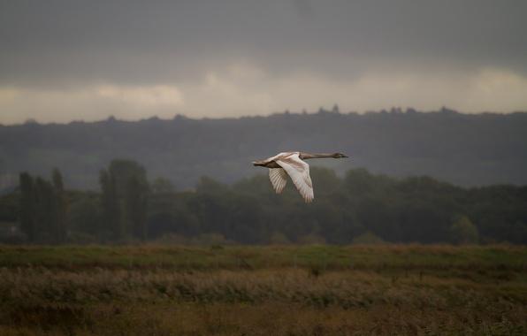 Picture flight, nature, bird, Swan
