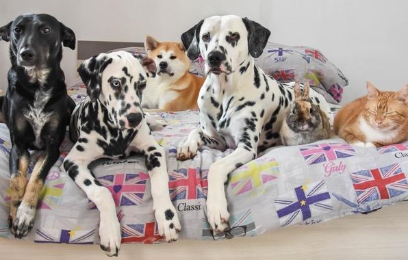 Picture cat, dogs, cat, bed, rabbit, friends, mongrel, Akita inu, dalmatinci