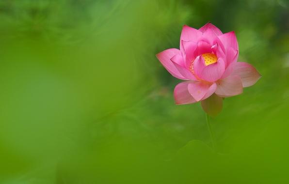 Picture flower, pink, petals, Lotus