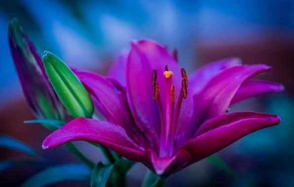 Picture macro, Lily, petals, stamens