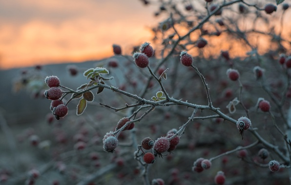 Picture frost, autumn, branches, Bush, fruit