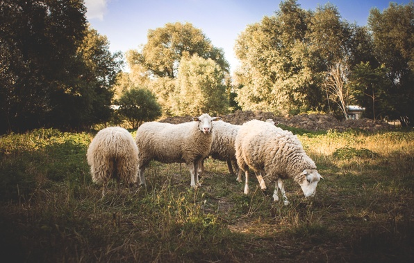 Picture animals, trees, sheep, wool, sheep
