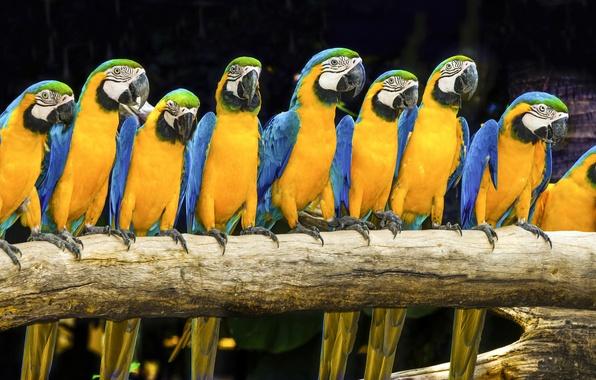 Picture birds, bright, parrot, Ara