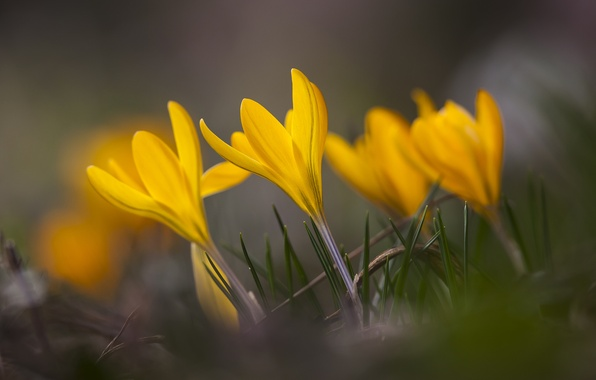 Picture grass, macro, flowers, focus, spring, yellow, petals, blur, Crocuses