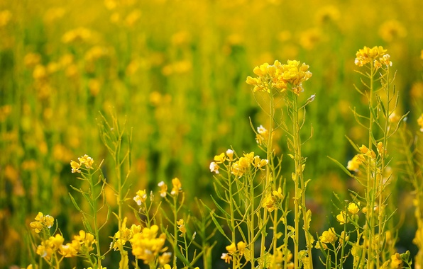 Picture field, grass, flowers, plant, meadow