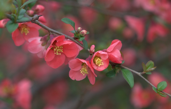 Picture macro, branch, flowering, flowers, quince
