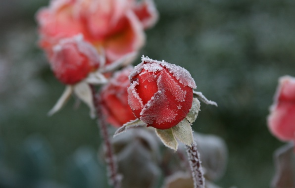 Picture cold, frost, macro, flowers, background, Wallpaper, roses, frost, buds