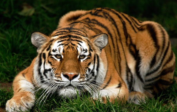 Picture cat, animals, grass, tiger, pussy, grass, kitty, animals, pussy, tiger