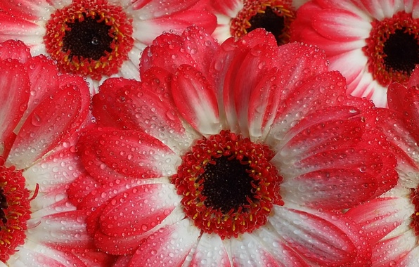 Picture water, gerberas, droplets