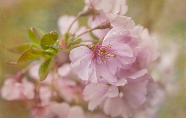 Picture macro, cherry, texture, Sakura, flowering, flowers