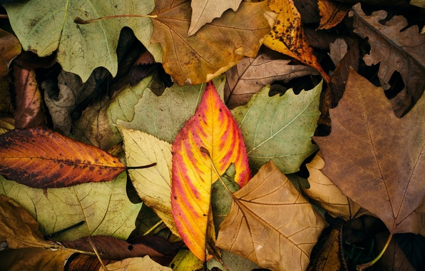 Picture autumn, leaves, macro, background, widescreen, Wallpaper, color, leaf, wallpaper, leaves, widescreen, background, full screen, HD …