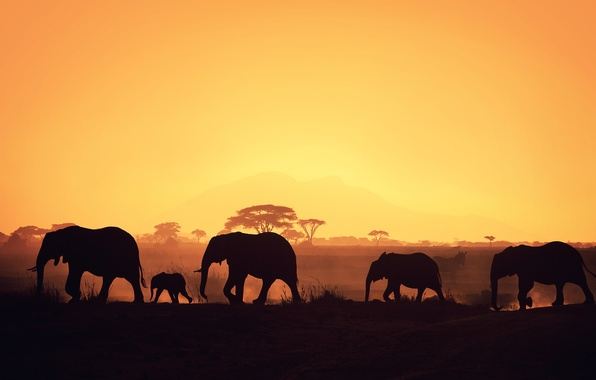 Picture Africa, elephants, silhouettes
