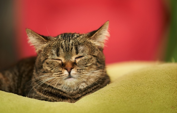 Picture cat, cat, house, sleep, muzzle, sleeping, blanket