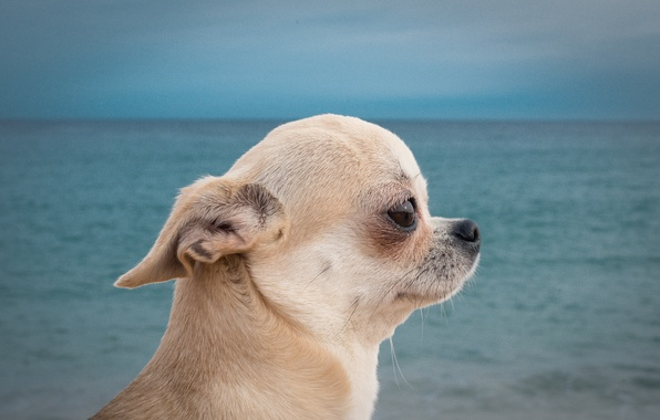 Picture sea, portrait, dog, muzzle, profile, Chihuahua, doggie, dog