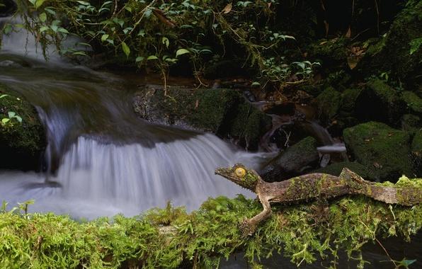 Picture nature, stream, stones, moss, lizard, Gecko, fantastic listovoi Gecko, satanic Gecko