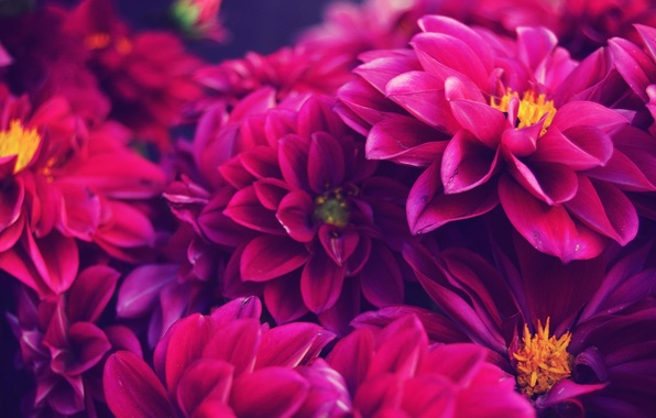 Picture macro, petals, dahlias