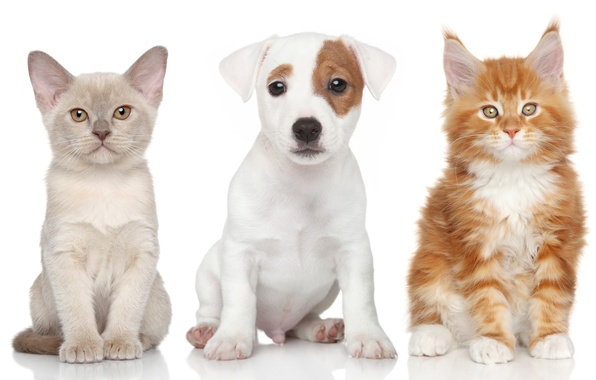 Picture dog, kittens, puppy, The Burmese, Maine Coon, Jack Russell Terrier