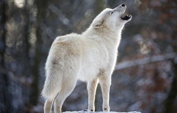 Picture white, wolf, predator, howl, Wolf