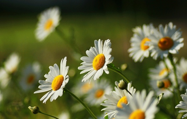 Picture white, flower, flowers, yellow, nature, green, background, widescreen, Wallpaper, chamomile, Daisy, wallpaper, flowers, widescreen, flowers, …