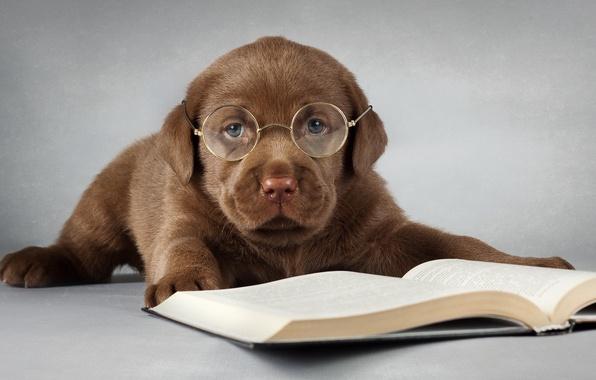 Picture each, dog, glasses, book, Labrador